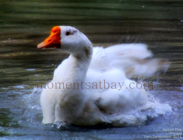 The Bathing Swan momentsatbay