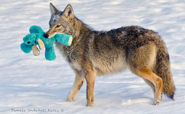 Toy Thief: Coyote finds old dog toy, acts like a puppy (Photos)
