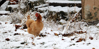 The chickens and ducks don't like snow