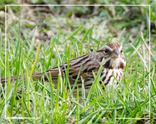 Song Sparrow. Copyright © Shelley Banks, all rights reserved