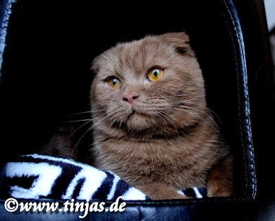 Britisch Kurzhaar und Scottish Fold Katzen in cinnamon