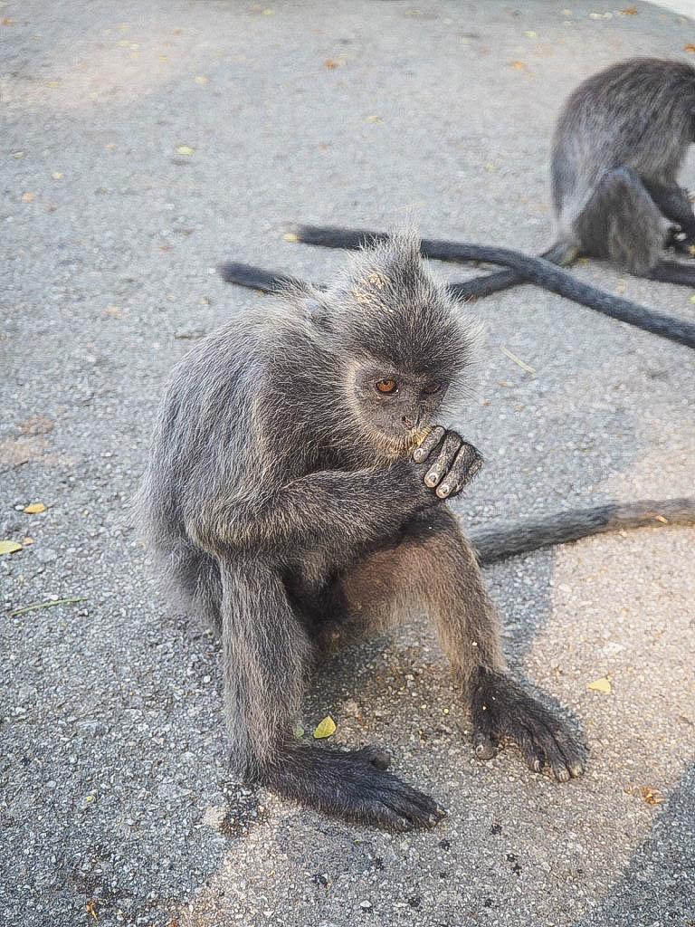 kuala selangor silver leaf monkeys