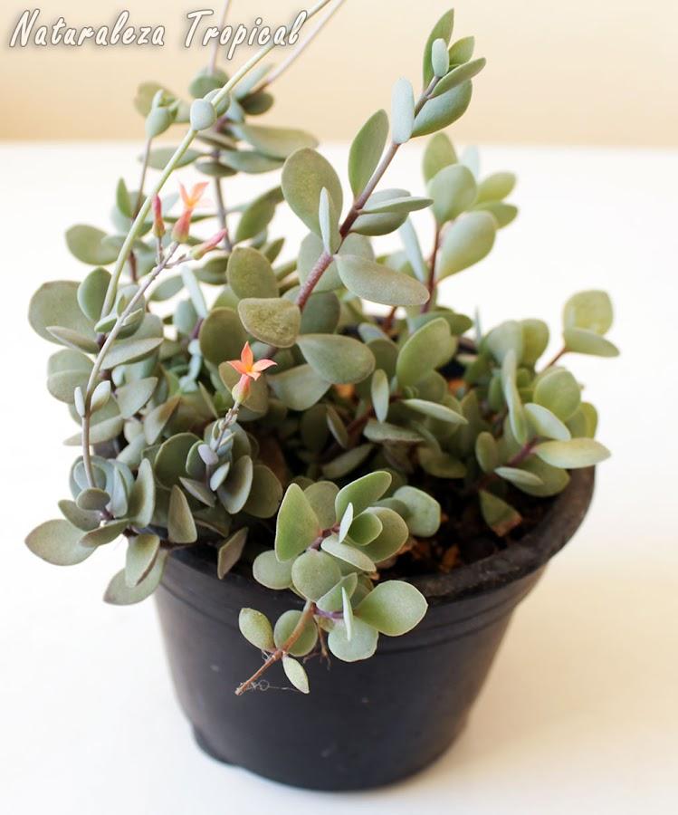 Kalanchoe rotundifolia en maceta