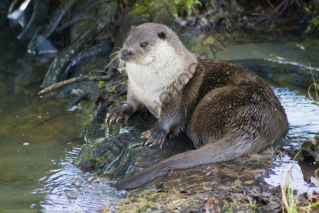 Otter sitting on the edge of his pool