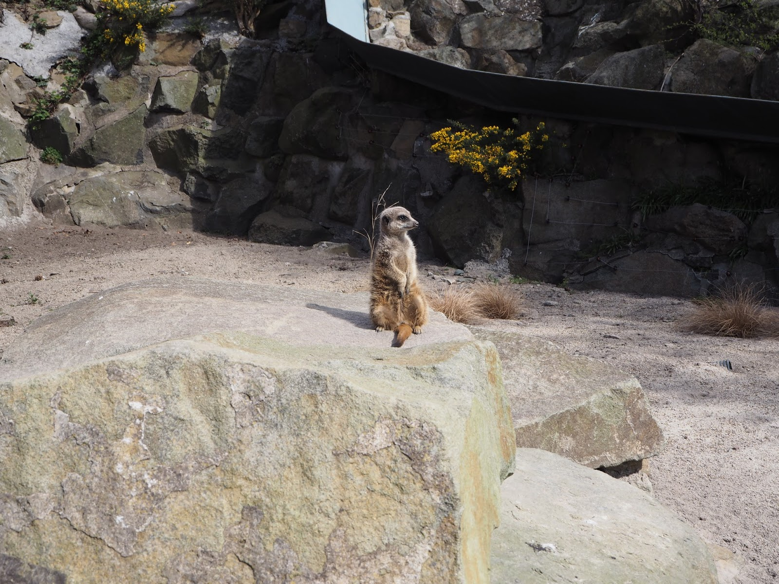 edinburgh zoo meerkat