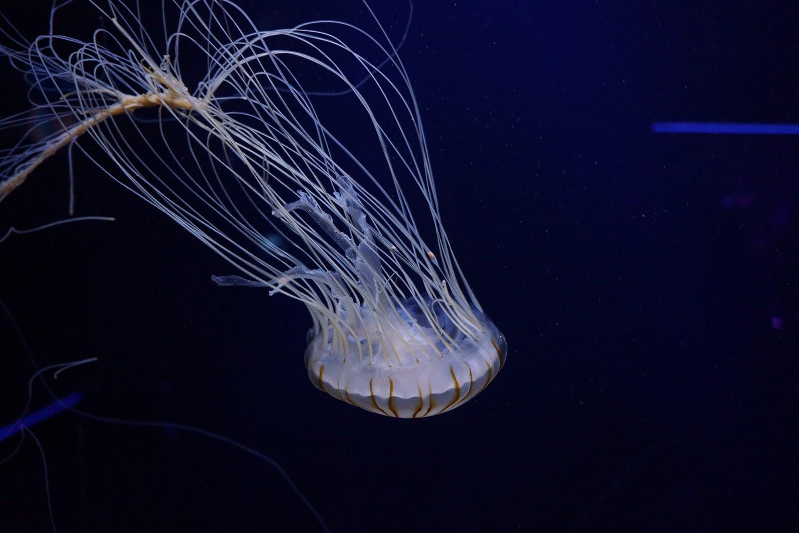 one jellyfish swimming upside down