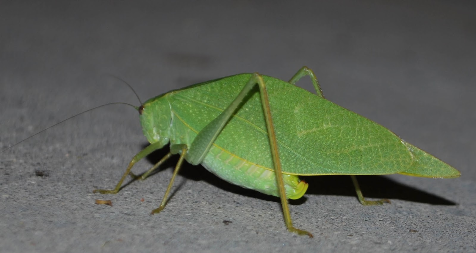 The Scratching Post: Green, Leaf-shaped Grasshopper