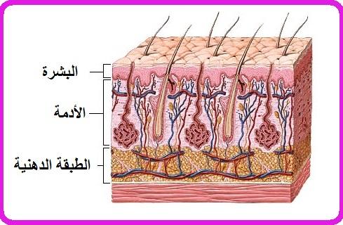تركيبة الجلد،  تعريف الجلد، طبقات الجلد، الأظافر والشعر