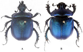 New Species of Dung Beetle found in Arunachal Pradesh