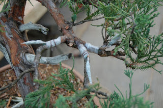 How to Graft Junipers