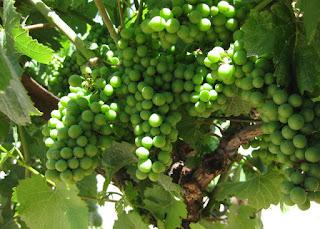 Green grapes on the vine, MacMurray Ranch, Healdsburg, California