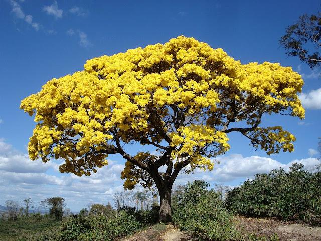 Дерево ипе - символ Бразилии