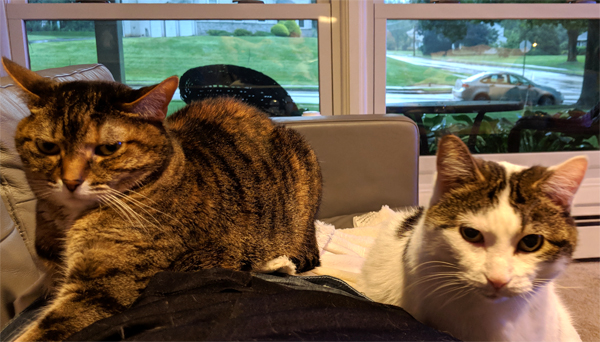 image of Sophie the Torbie Cat and Olivia the White Farm Cat lying on me as I lie on the sofa; the bottom of my black top can be seen covered in cat hair