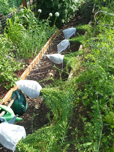 bagging flaxseeds to protect the bolls from birds