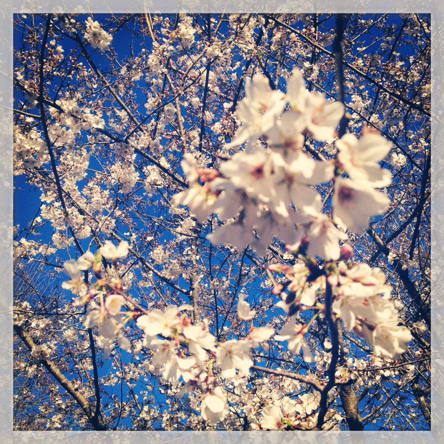 Halcyon Days Cherry Blossoms