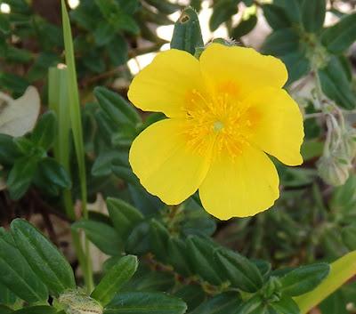 Jarilla amarilla, tamarilla (Helianthemum nummularium)