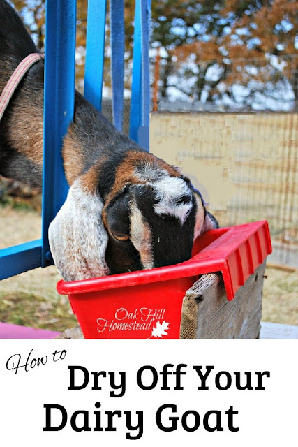 How to dry off (stop milking) your goat.