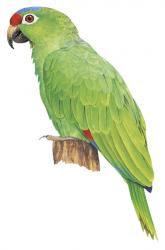 Amazona diadema