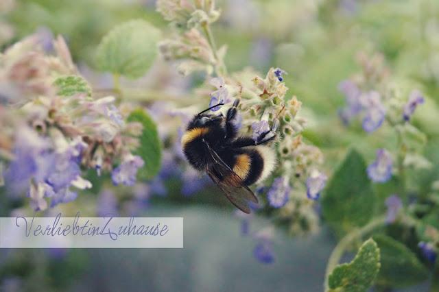 Makrofotografie Katzenminze mit durstiger Biene