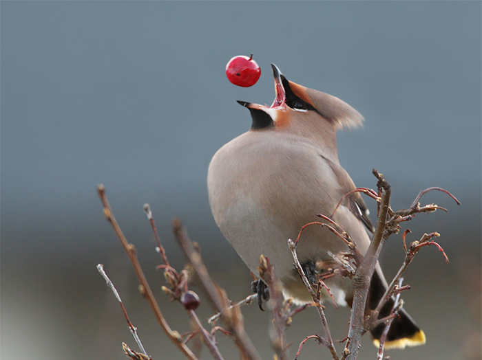 Perfect Timing, Perfect Angle...Hilarious Result! - Perfectly Timed Bohemian-waxwing
