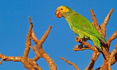 Amazona del cerrado: Alipiopsitta xanthops