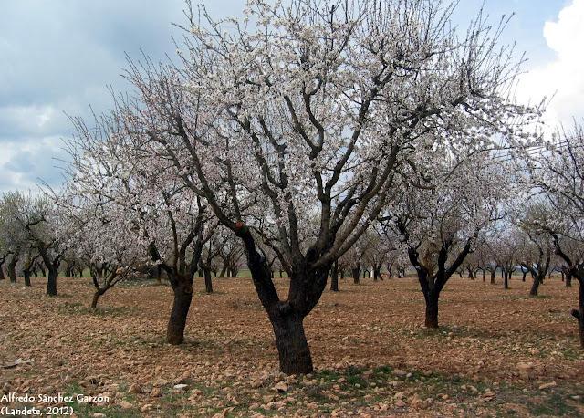 almendro-flor-landete-cuenca-llanos