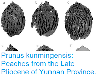 http://sciencythoughts.blogspot.co.uk/2015/12/prunus-kunmingensis-peaches-from-late.html