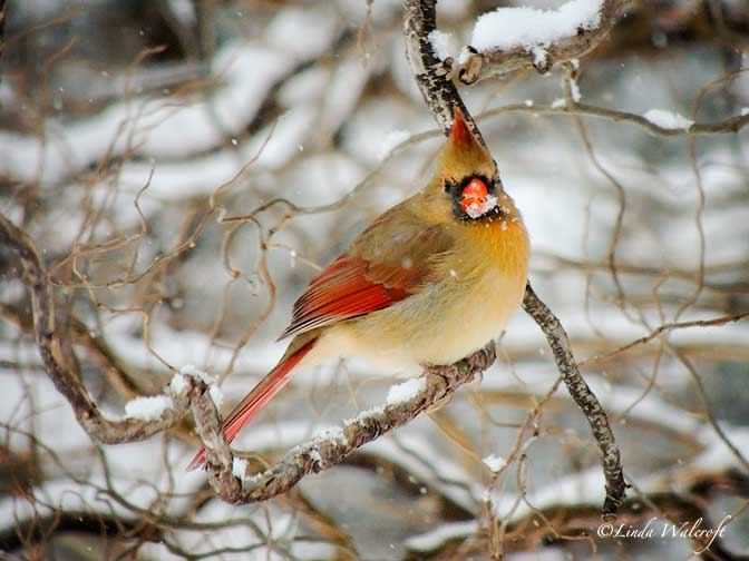 pretty female cardinal bird