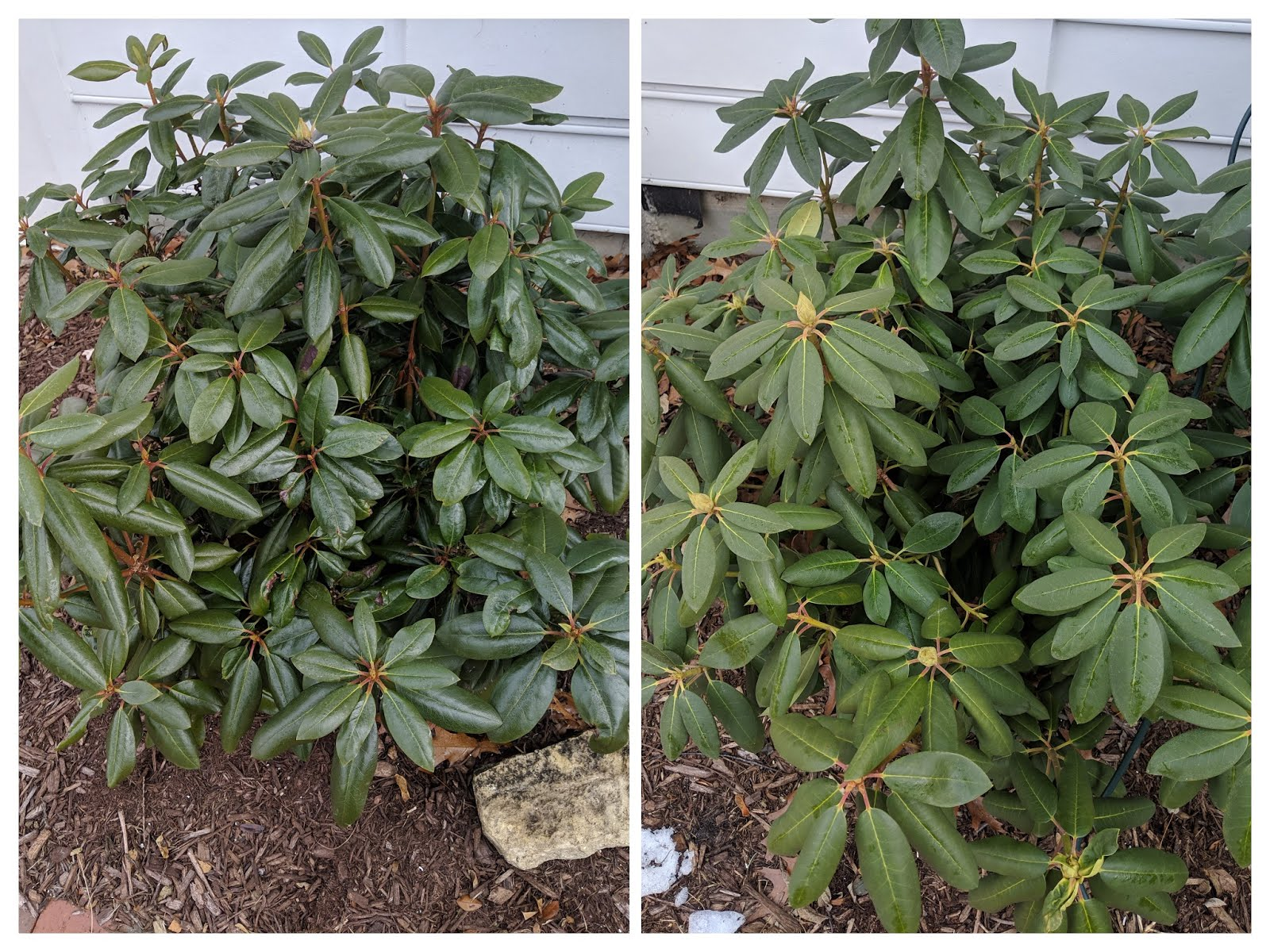 My Wilt Pruf Over Winter Rhododendron Experiment