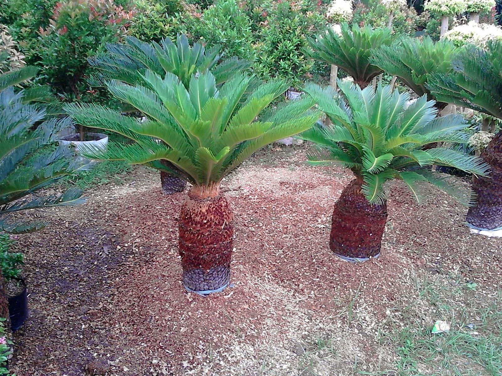 pohon sikas