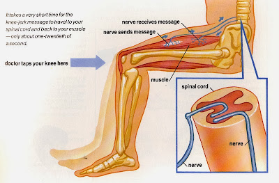Human Spinal Cord - What is the function of the spinal cord and What