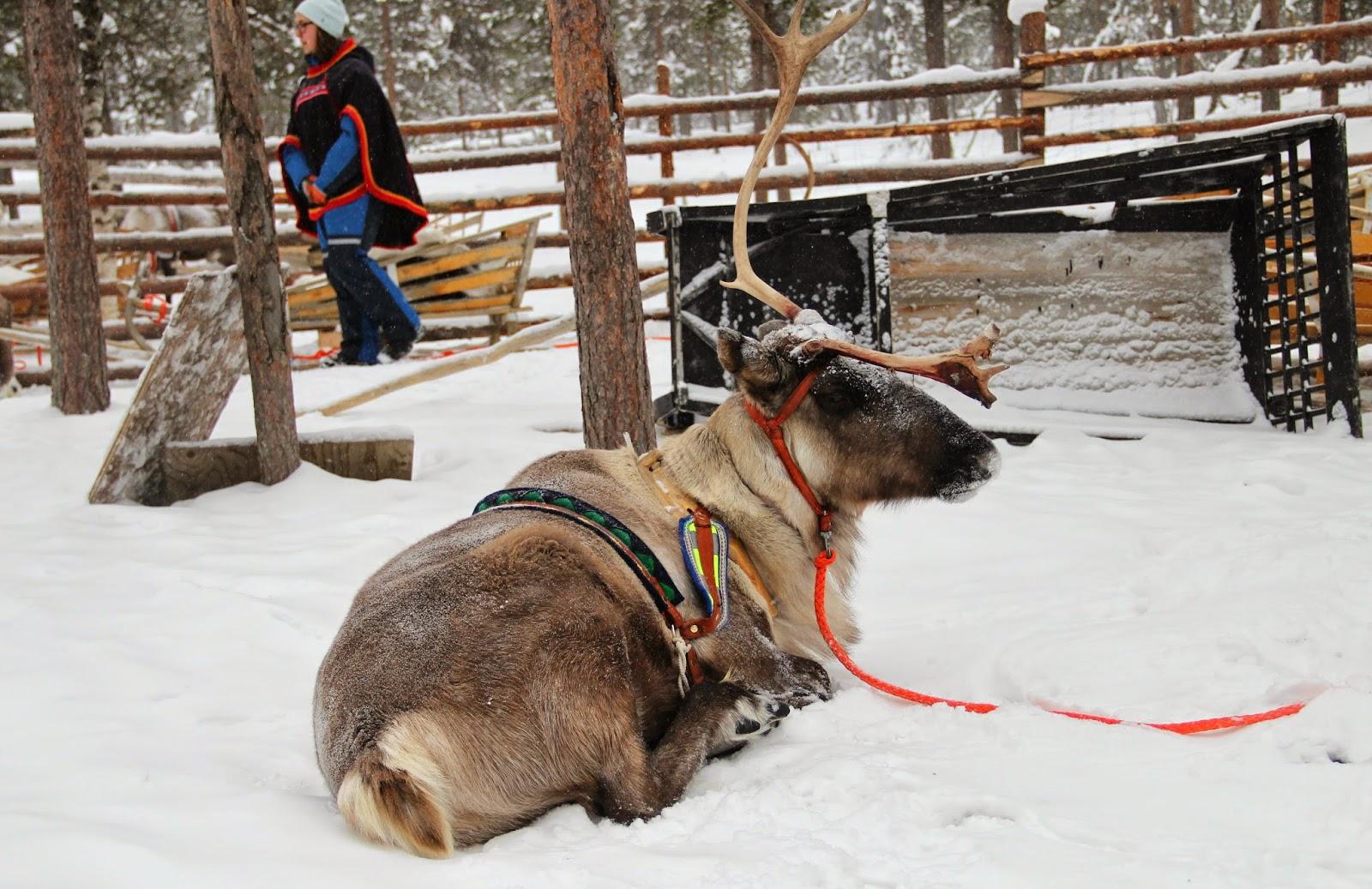 Reindeer Arctic Circle Finland