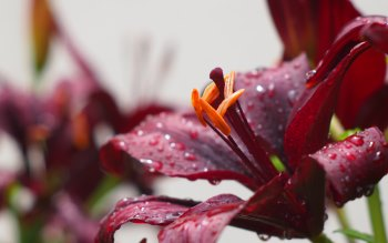 Wallpaper: Burgundy Flowers and Rain Drops