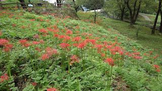 花の苑地 ヒガンバナが見ごろを迎えました。