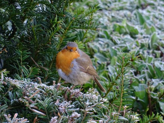 Dyrham Park,Dyrham,National Trust,robin,bird
