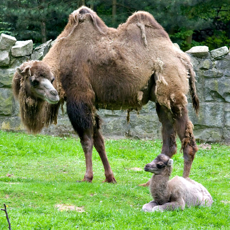 Baby Animals: Camel - Calf 8