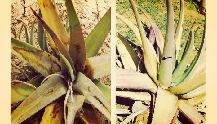 Enfermedad de cactus y suculentas