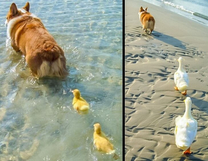 25 Heart-Melting Pictures That Made Even The Toughest Of Us Cry - Dad Corgi raised two ducklings.