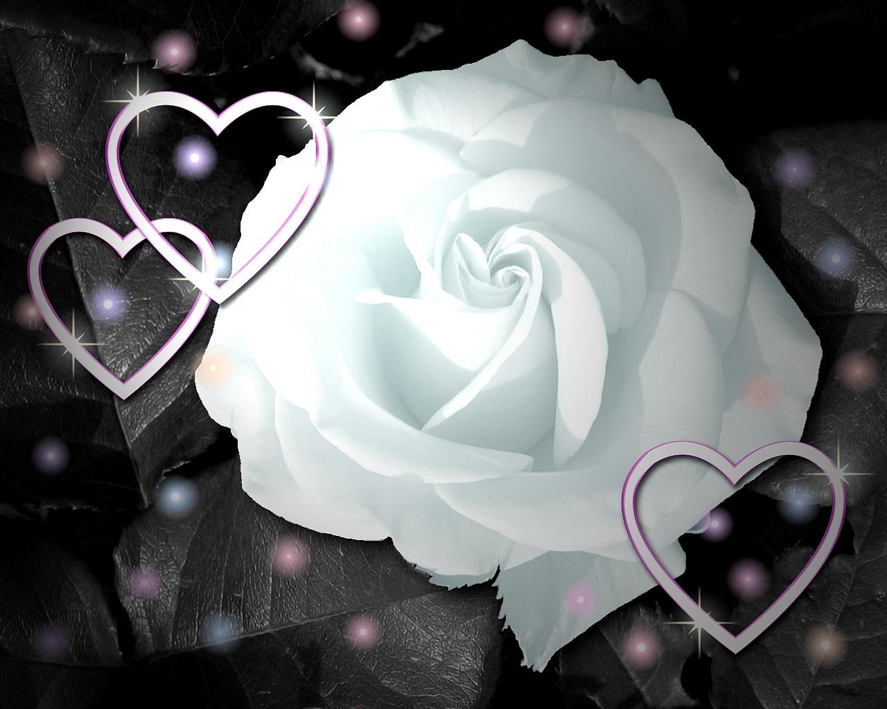 White Rose Flowers Wallpapers: Loving White Rose Flowers Wallpapers