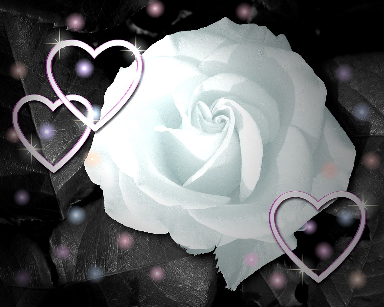 Loving White Rose Flowers Wallpapers - Entertainment Only