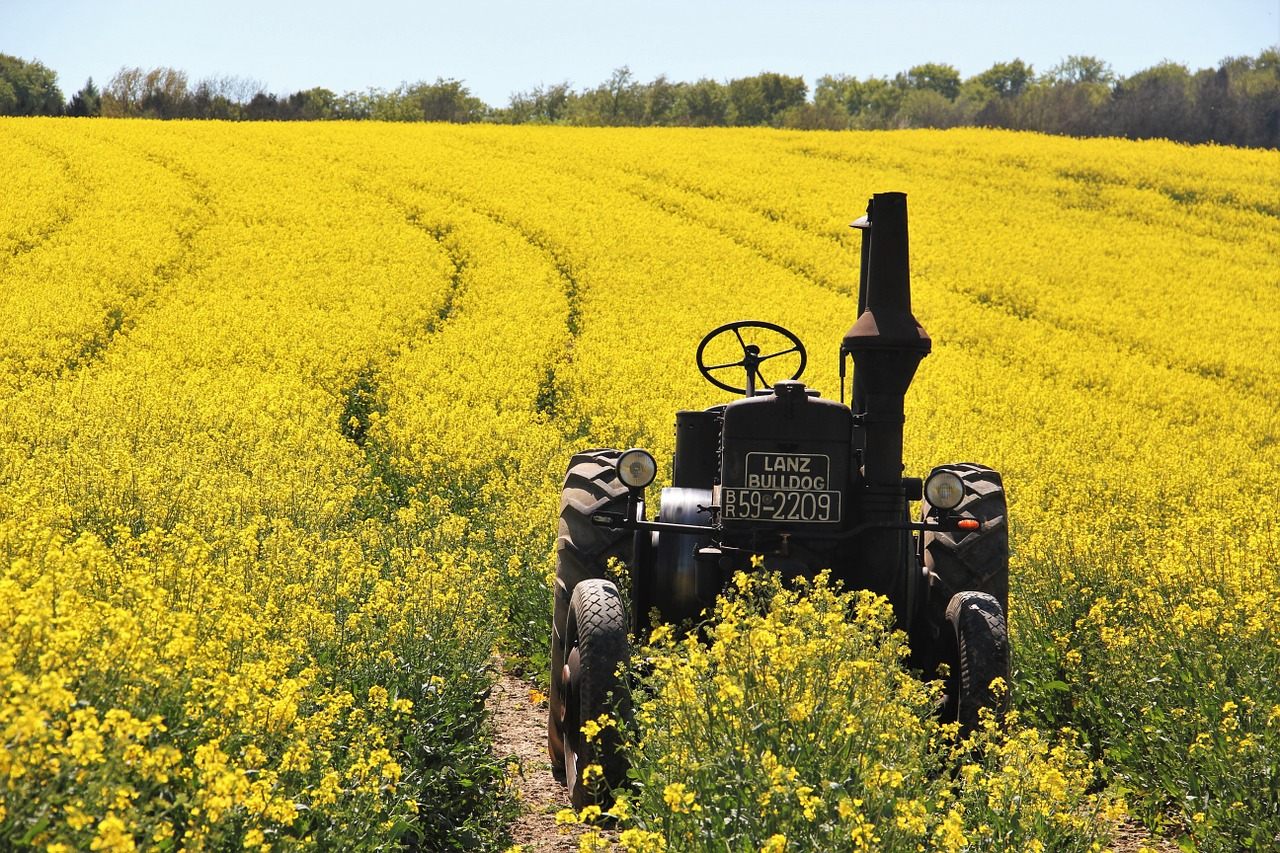 Rapeseed oil: benefit and harm, field of application