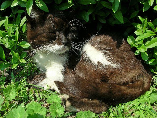 kot z Chróściny Nyskiej
