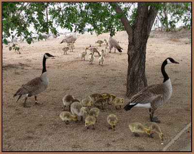 Canada geese with dozens of goslings in Wascana Park, Regina
