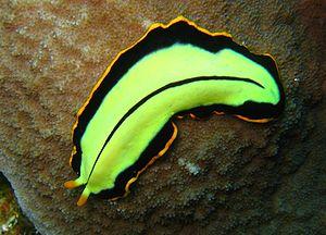 Category:Planaria - Wikimedia Commons
