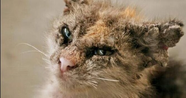 Miracat Anti Fungal Treatment For Cat 6 Cara Hilangkan Kurap Pada Kucing