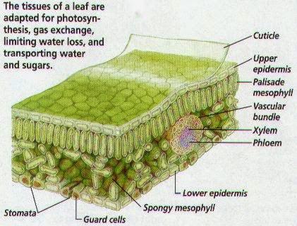 Senior Biology: Gas exchange in Plants