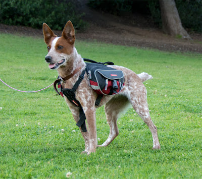 Australian cattle dog modeling EzyDog's Summit backpack