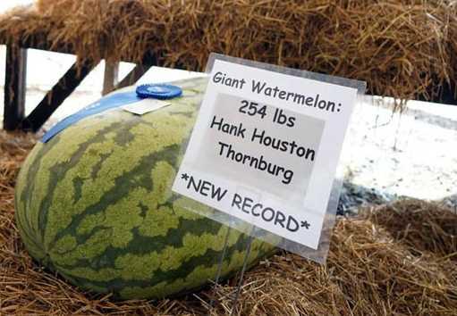 Inilah Semangka Terbesar di Dunia Berat Capai 115 Kg