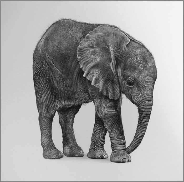 05-Little-one-Baby Elephant-Julie-Rhodes-Wildlife-Animals-Realistic-Pencil-Drawings-www-designstack-co
