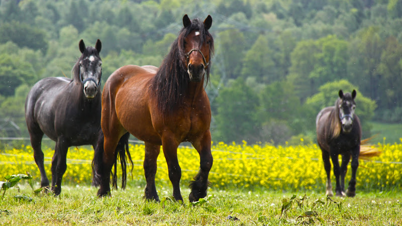 Black and Brown Horses HD